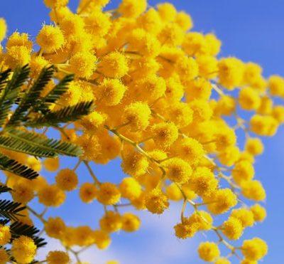 mimoza-540